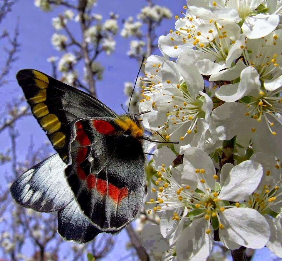 farfalla sul mandorlo